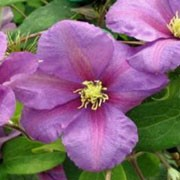'Twilight' is a compact, deciduous climber with mid-green leaves and large, rounded, purple-pink flowers with creamy white anthers in summer and autumn. Clematis 'Twilight' added by Shoot)