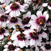 'Sweet Dreams' is a clump-forming, herbaceous perennial with linear, mid-green leaves and white flowers with deep, rose-pink centres blooming in late spring to midsummer.  Coreopsis rosea 'Sweet Dreams' added by Shoot)