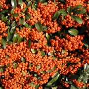 'Saphyr Orange' is a compact, thorny evergreen shrub with narrow glossy leaves, clusters of white flowers followed by bright orange berries. Pyracantha 'Saphyr Orange' added by Shoot)