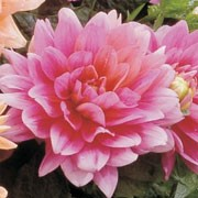 'Bluesette' is a compact herbaceous perennial with dark-green lobed leaves and double, pink flowers in summer and autumn. Dahlia 'Bluesette' added by Shoot)
