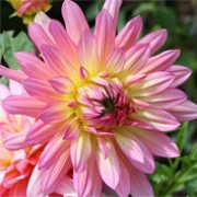 'Extase'' is a compact herbaceous perennial with dark-green lobed leaves and double, orange- pink flowers, yellow-flushed in the centre, in summer and autumn. Dahlia 'Extase' added by Shoot)