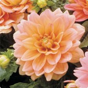 'Margareth Kleene' is a compact herbaceous perennial with dark-green lobed leaves and double, orange flowers in summer and autumn. Dahlia 'Margareth Kleene' added by Shoot)