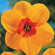 'Ambergate' is a bulbous perennial with green, strap-like leaves and orange to yellow-orange flowers with red cups in early to mid-spring. Narcissus 'Ambergate' added by Shoot)