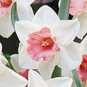 'Chromacolor' is a bulbous perennial with green, strap-like leaves and white flowers with pink, frilled cups in early to late spring. Narcissus 'Chromacolor' added by Shoot)