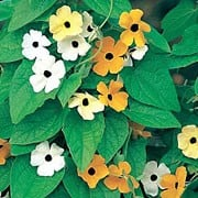 'Susie' is a climbing annual with mid-green heart shaped leaves. In summer, it produces a mixture of yellow, bright orange and white flowers with and without black centres. Thunbergia alata 'Susie' added by Shoot)