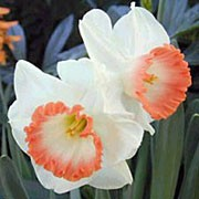 'Spring Pride' is a clump-forming, bulbous perennial with blue-green, strap-like leaves and, in spring, white flowers with white cups edged in apricot-pink. Narcissus 'Spring Pride' added by Shoot)