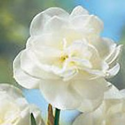 'Rose of May' is a clump-forming, bulbous perennial with green, strap-like leaves and fragrant, double, creamy-white flowers with pale yellow centres in late spring.