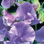 'Blue Danube' is an annual climber that has greyish-green leaves and in summer until autumn, bears fragrant, pale blue flowers. Lathyrus odoratus 'Blue Danube' added by Shoot)