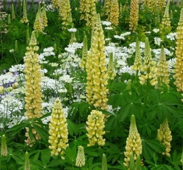 Lupinus 'Chandelier' (Band of Nobles Series)