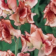 Candy' is a climbing annual with strongly fragrant, white flowers that are striped and speckled with chocolate maroon, and have a rippled edge in summer. Lathyrus odoratus 'Candy' added by Shoot)