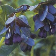 'Blue Kiwi' is a hardy tropical perennial often grown as an annual. It had a branching upright form with waxy blue-green leaves, bright blue bracts and  purple and yellow flowers from spring through summer. Cerinthe major 'Blue Kiwi' added by Shoot)