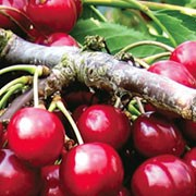 'Summer Sun' is an upright, deciduous fruit tree which spreads when mature and gets white flowers in late spring. It is a very reliable cropper with red cherries that ripen to almost black in mid-summer. Prunus avium 'Summer Sun' added by Shoot)