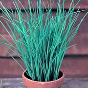 'Fine Leaved' is an edible  perennial that forms clumps of long, tubular leaves, and ball-like lavender flower heads bloom atop stiff stems in summer. Allium schoenoprasum 'Fine Leaved' added by Shoot)