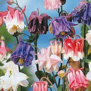 'Petticoats' is an upright herbaceous perennial, with nodding, early summer flowers that have double and semi-double blooms in shades of pink, red, pale-blue, purple and white. Aquilegia 'Petticoats' added by Shoot)