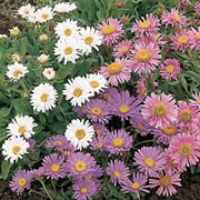 'Dwarf Fairy' is a low growing perennial with narrow, dark green leaves and blue-violet, white or pink daisy-like flowerheads with a yellow centre. Aster alpinus 'Dwarf Fairy' added by Shoot)