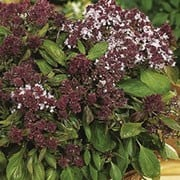 'Magical Michael' is an ornimental mounded herb with aromatic, green, delicate leaves and spikes of small, tubular purple-tinged flowers in late summer. Ocimum basilicum 'Magical Michael' added by Shoot)