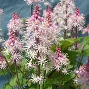 'Morning Star' is a clump-forming, herbaceous perennial with attractive deeply lobed, palmate leaves with central purple markings.  From spring to late summer, it bears dainty, fluffy, pale-pink flowers on wiry stems. Tiarella 'Morning Star' added by Shoot)