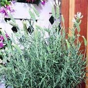 'Bee Cool' is a small, fragrant dense, bushy evergreen shrub with grey-green linear foliage and spikes of white flowers topped with conspicuous bracts in summer. Lavandula stoechas 'Bee Cool' added by Shoot)