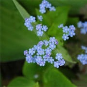 Brunnera macrophylla added by Shoot)