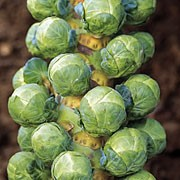 'Clodius' is a medium sized, late season cropper that stands up well throughout the winter months. It has solid, crisp, green buttons that can be harvested in winter. Brassica oleracea var. gemmifera 'Clodius' added by Shoot)
