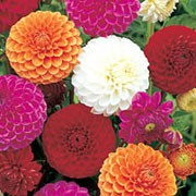 'Pompon Mixed' is a small-flowered, ball dahlia with an erect habit. Its divided foliage is dark-green. In summer and autumn it bears fully-double flowers in pinks, reds, oranges and whites. Dahlia 'Pompon Mixed' added by Shoot)