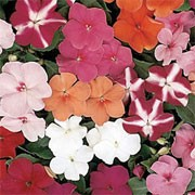 'Shimmer' is a mounding annual with green leaves and brightly coloured single flowers with a metallic sheen that makes them shimmer in the summer sun. Impatiens walleriana 'Shimmer' added by Shoot)