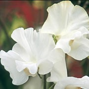 'Dancing Queen' is a climbing annual with strongly fragrant, pure white, frilly flowers from early summer to early autumn. Lathyrus 'Dancing Queen' added by Shoot)