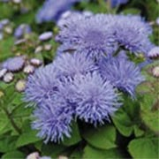 'Blue Haze' F1 is a compact, mound-forming annual with oval, hairy, bright green leaves and clusters of lavender-blue flowers from midsummer until the first frosts.
