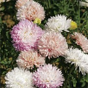 'Bridesmaids' is a compact, mound-forming perennial with narrow, green leaves and clusters of daisy-like flowers  with incurved petals in a mix of pastel colours in late summer and autumn.