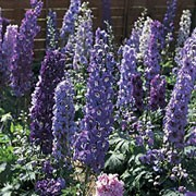'Blue Fountains' is a dwarf, upright, clump-forming perennial that won't need staking. It has dark green divided foliage and in summer, bears dense spikes of blue flowers with white eyes. Delphinium elatum 'Blue Fountains' added by Shoot)