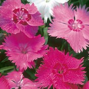 'Sweetness' is a low growing, compact, evergeen perennial with linear, grey-green leaves and scented, single flowers of mixed white and pink shades in early summer until late summer. Dianthus 'Sweetness' added by Shoot)