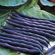 'Purple Queen' is a half-hardy, dwarf, climbing annual with flowers followed by long, deep purple pods in summer. When cooked the pods change colour to dark green. Phaseolus vulgaris 'Purple Queen'  added by Shoot)