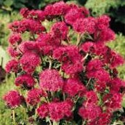 'Red Sea' F1 is a compact, mound-forming annual with oval, hairy, bright green leaves and burgundy-red buds that fade to mauve clusters of lavender-blue flowers from midsummer until the first frosts.