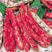 'Borlotto Firetongue' is a half-hardy, dwarf, climbing annual with white, pink or red flowers followed by marbled red pods in summer with edible, mottled red seeds. Ideal for cooking fresh or as dried seeds (haricots). Stores well throughout winter in airtight jars.  Phaseolus vulgaris 'Borlotto Firetongue' added by Shoot)