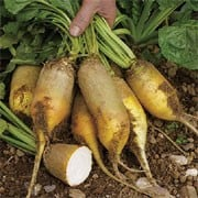 'Yellow Cylindrical' is an herbaceous perennial with heart-shaped leaves, dense flowering spikes bearing small green flowers, and edible, cylindrical fleshy taproots with yellow skin and tasty, crisp white flesh.  Beta vulgaris 'Yellow Cylindrical' added by Shoot)