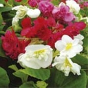 'Double Ruffles' is a half-hardy, annual with glossy foliage and flowers in a mix of pink, red, yellow, orange and white colours in summer. Begonia 'Double Ruffles' added by Shoot)
