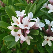 Eternal Fragrance is a small, rounded, compact semi-evergreen shrub with narrowly ovate, dark-green leaves.  In spring and summer, it bears terminal clusters of tubular, star-shaped, cream-flushed pale-pink flowers that have a sweet fragrance. Daphne × transatlantica Eternal Fragrance added by Shoot)