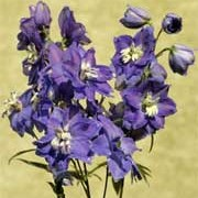 Blue Bird Group is an herbaceous perennial with dark-green, divided leaves and tall spikes of bright-blue flowers with white eyes in summer. Delphinium Blue Bird Group added by Shoot)
