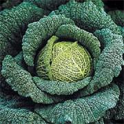 'Traviata' F1 is a winter-hardy Savoy cabbage plant producing a uniform, dense, round head of edible spring greens with crinkled, dark-green leaves in spring.   Brassica oleracea capitata 'Traviata' added by Shoot)