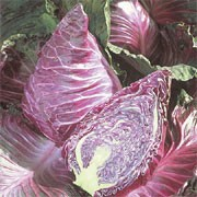 'Kalibos' is a cultivated vegetable plant producing a short, thick stalk and pointed, tightly packed heads of edible, carmine-red leaves in summer and autumn. Good in salads or lightly steamed. Brassica oleracea capitata 'Kalibos' added by Shoot)