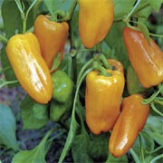 'Barancio' is an upright, sturdy spice plant with solitary flowers followed by medium sized yellow-orange fruit in summer and autumn. Capsicum annuum 'Barancio' added by Shoot)