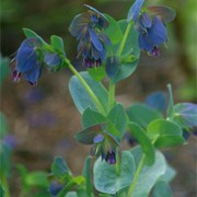 'Purple Queen' is an annual that has small purple-blue, cream-tinged flowers with striking steel-blue bracts in summer and autumn. Cerinthe major var. purpurascens 'Purple Queen' added by Shoot)