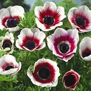 'Bicolor' is a clump-forming herbaceous perennial with finely divided foliage and white cup-shaped flowers with black centres and red markings that form a ring around the inside of the flowers. Anemone coronaria 'Bicolor'  added by Shoot)