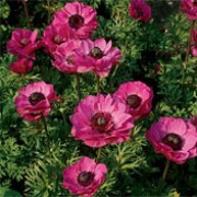 'Sylphide' is a clump-forming herbaceous perennial with finely cut leaves and dark rose-pink flowers with black centres in late spring to early summer. Anemone coronaria 'Sylphide' (Mona Lisa Series) added by Shoot)