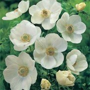 'Die Braut' is a clump-forming herbaceous perennial with divided foliage and pure white flowers in late spring to early summer. Anemone coronaria (De Caen Group) 'Die Braut'  added by Shoot)