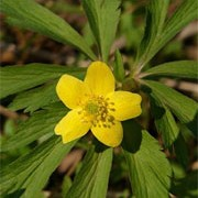 Anemone ranunculoides added by Shoot)
