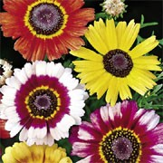 'Sunshine' Mix is a compact, bushy annual with divided, fern-like, dark-green foliage and single, button-like, bright lemon-yellow, white, orange and crimson flowers with brownish-purple centres in summer and autumn. Chrysanthemum carinatum 'Sunshine'  added by Shoot)