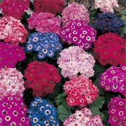 'Spring Glory' is an evergreen biennial, usually grown as an annual, with toothed, silvery-grey felted leaves and occassional clusters of blue, red, crimson, pink and rose daisies with brown centres encircled by white haloes in spring and summer. Senecio cineraria 'Spring Glory' added by Shoot)