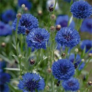 Centaurea Cyanus Blue Boy Cornflower Care Plant Varieties Pruning Advice