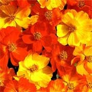 'Cosmic' Mix are half-hardy annuals. They have feathery foliage and semi-double, daisy-like flowers in red, yellow and orange from summer to autumn. Cosmos sulphureus 'Cosmic' added by Shoot)